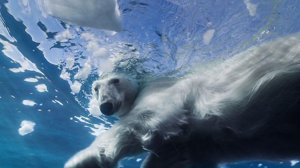 Plongeur avec ours polaire