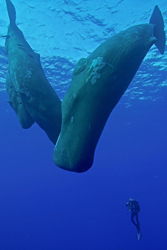 banque d'images film séquences cachalots - Spermwhale - Sea footage