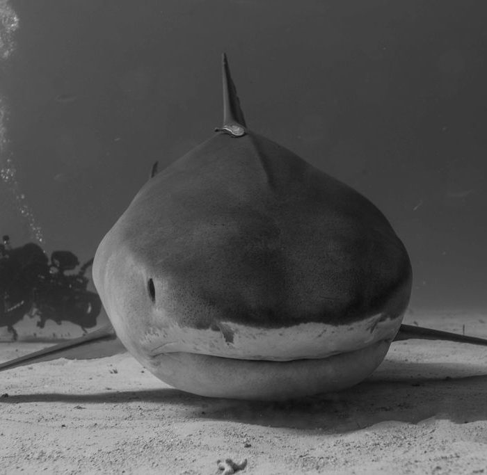 Banque d'images films requin blanc