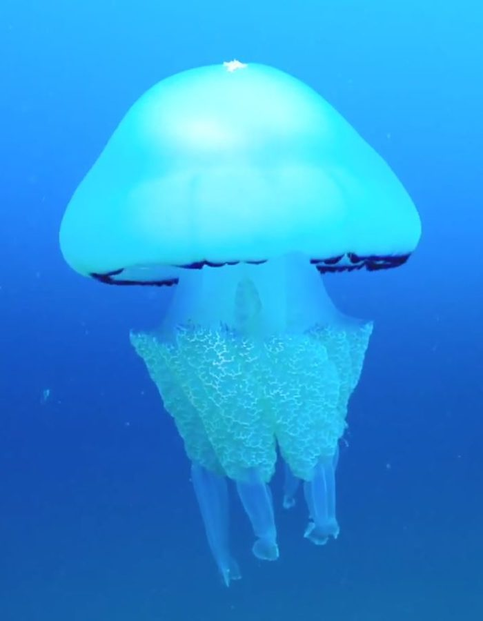 Un océan de vie - la méduse