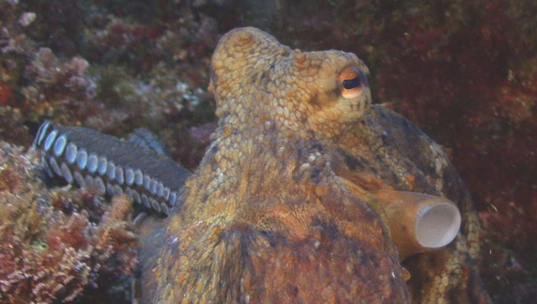 Un océan de vie - le poulpe - documentaire animalier