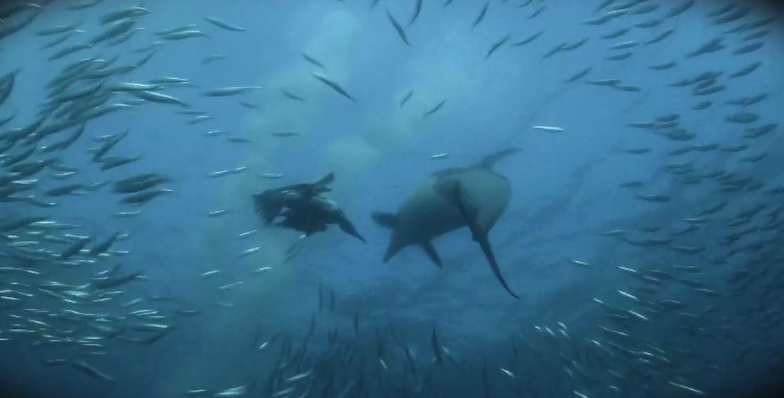 sardin run dauphins oiseaux requins video reportage