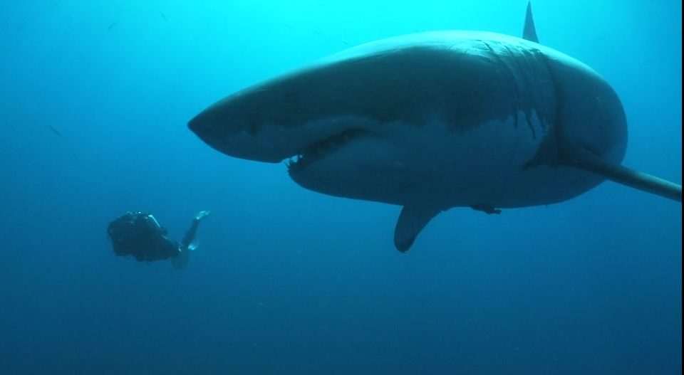 An Ocean of Life, the great white shark