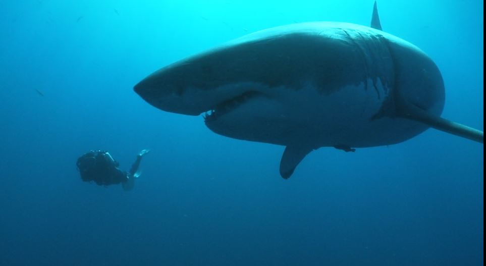 Great white shark footage